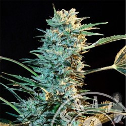 Automatic AK Feminized (Grass O Matic)