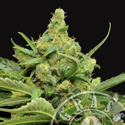 Maxi GOM Auto Feminized (Grass O Matic)