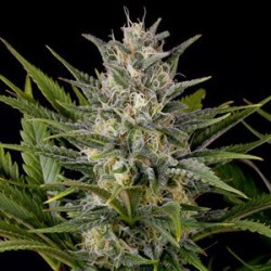 Pineapple Skunk Feminized (Humboldt Seeds)