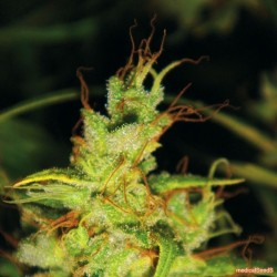 2046 Feminized (Medical Seeds)