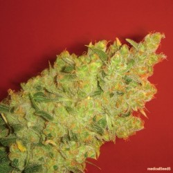 Jack La Mota Feminized (Medical Seeds)