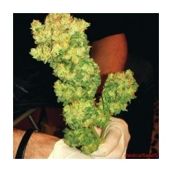 Sour Diesel Feminized (Medical Seeds)