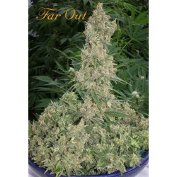 Far Out Feminized (Mandala Seeds)