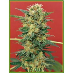 Ganesh Regular (Mandala Seeds)