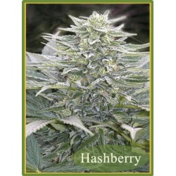 Hashberry Regular (Mandala Seeds)