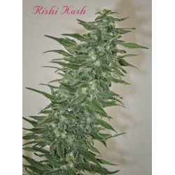 Rishi Kush Regular (Mandala Seeds)