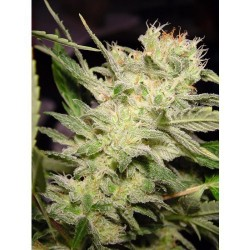 Belladonna Feminized (Paradise Seeds)