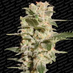 Dutch Dragon Feminized (Paradise Seeds)