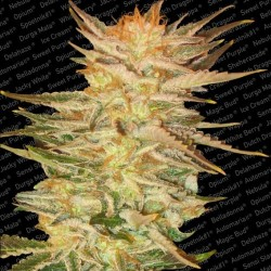 Ice Cream Feminized (Paradise Seeds)