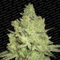 Jacky White Feminized (Paradise Seeds)