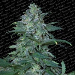 Magic Bud Feminizowane (Paradise Seeds)