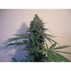 Sensi Star Feminized (Paradise Seeds)