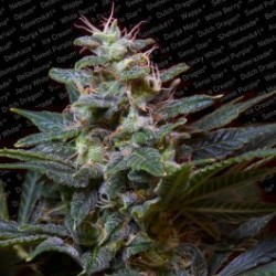 Sweet Purple Feminized (Paradise Seeds)