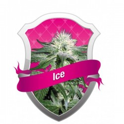Ice Feminized (Royal Queen Seeds)