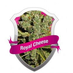 Royal Cheese Feminizowane (Royal Queen Seeds)