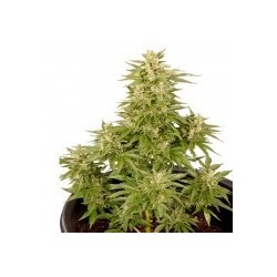 Royal Critical Auto Feminized (Royal Queen...