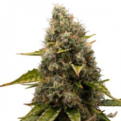White Widow Feminizowane (Royal Queen Seeds)