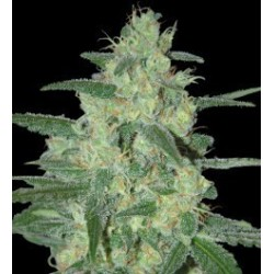 Holy Grail 69 Feminized (Samsara Seeds)