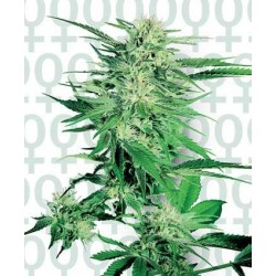 Big Bud Feminised (Cannabis Seeds)
