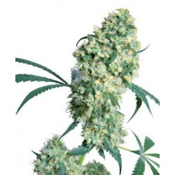 Ed Rosenthal Super Bud Regular (Sensi Seeds)