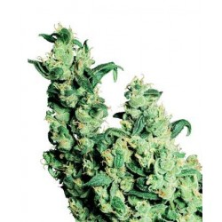 Jack Herer Regularne (Sensi Seeds)