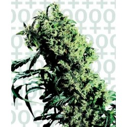 Northern Light 5 x Haze Feminized (Sensi...