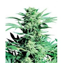 Shiva Skunk Feminized (Sensi Seeds)