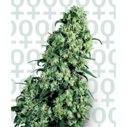 Skunk 1 Feminized (Sensi Seeds)