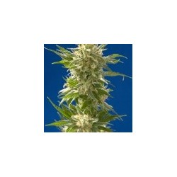 AK Feminized (Spliff Seeds)