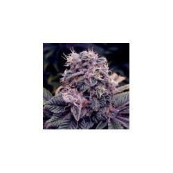 Blue Berry Feminizowane (Spliff Seeds)