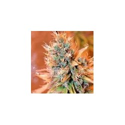 Blue Medi Kush Feminized (Spliff Seeds)