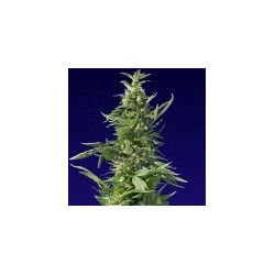 Diesel Feminized (Spliff Seeds)