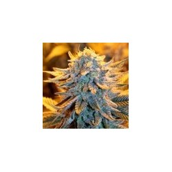 Dutch Auto Feminizowane (Spliff Seeds)