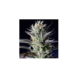 Dutch Blue Auto Feminized (Spliff Seeds)