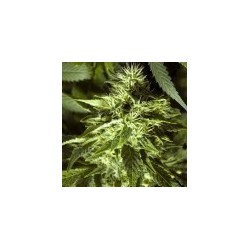 Fast Bud  Outdoor Feminized (Spliff Seeds)