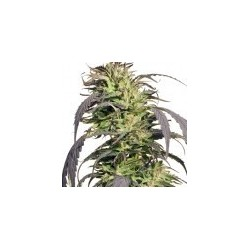 Gold Rush Feminized (Spliff Seeds)