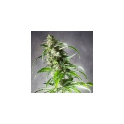 Jack F1 Feminized (Spliff Seeds)