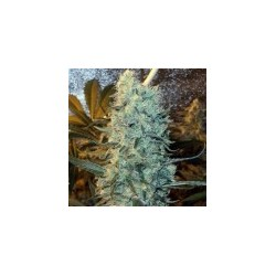 Power Plant Feminized (Spliff Seeds)