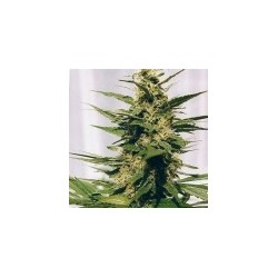 Polm Gold Outdoor Feminizowane (Spliff Seeds)