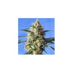 Snow White Feminized (Spliff Seeds)
