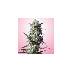 Strawberry Feminized (Spliff Seeds)