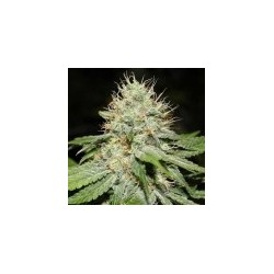 Sweet n Sour Feminized Indoor (Spliff Seeds)
