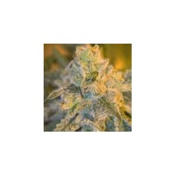 Sweet n Sour Feminized Outdoor (Spliff Seeds)