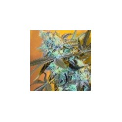 White Widow Feminized (Spliff Seeds)
