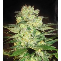 Afgan Kush x White Widow Feminized (WOS)