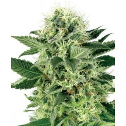 Northern Light Feminized (White Label Seeds)