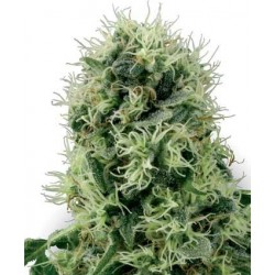 Power Plant Feminized (White Label Seeds)