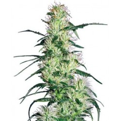 Purple Haze Feminized (White Label Seeds)