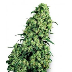 Skunk 1 Feminized (White Label Seeds)