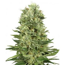 Skunk Automatic Feminized (White Label Seeds)